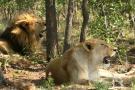 Así viven los nueve leones que hace 15 meses viajaron de Bucaramanga a Sudáfrica