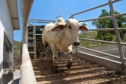 La dupla genética y excelente alimentación proporciona un animal para sacrificio de buena calidad y en menor tiempo.