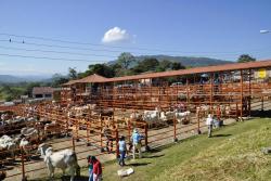 Los corrales del coliseo de ferias de Oiba permanecieron completamente abarrotados de ejemplares bovinos, los cuales fueron comercializados en el transcurso de los días de feria, alcanzando registros históricos en la región.