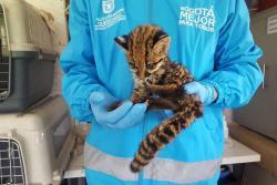 Rescatan cachorro de leopardo en Bogotá