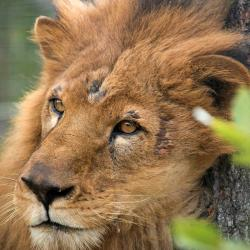 Así es el nuevo hogar de los leones 'bumangueses' en Sudáfrica