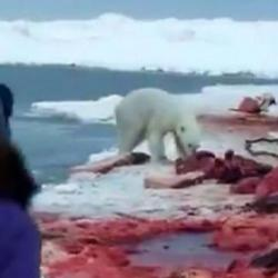 Cazadores de ballenas asesinaron a un oso polar en Alaska
