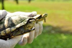 Liberan 15 tortugas en Santander