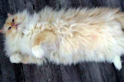 Conozca a Sky the Ragdoll, el gato más esponjoso de internet