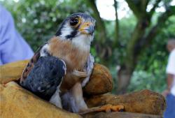 Un halcón colorado bebé fue rescatado en Santander