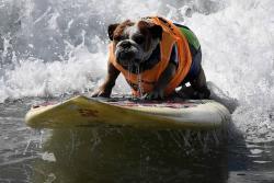 Perros nadadores participaron en competencia de surf