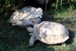 Mira lo que hizo esta tortuga para ayudar a su compañero