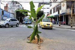 Siembran plátanos en hueco que causa accidentes en Bucaramanga