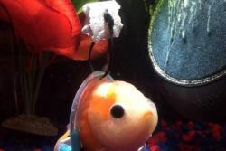 Un pez en 'silla de ruedas' se vuelve viral en las redes sociales