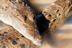 En Puerto Berrío hurtan mascotas para lanzarlas vivas a los caimanes