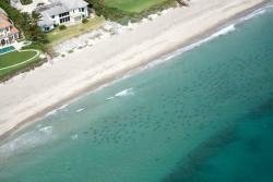 Miles de tiburones de punta negra invaden aguas costeras del sur de Florida
