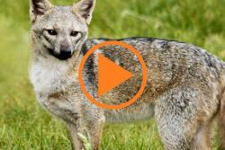 Un grupo de 'zorros perrunos' tiene en alerta a los habitantes de Zapamanga y El Carmen.