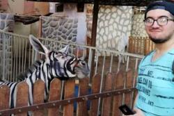 Imagen de una burra pintada de cebra metió en un lío a un zoológico