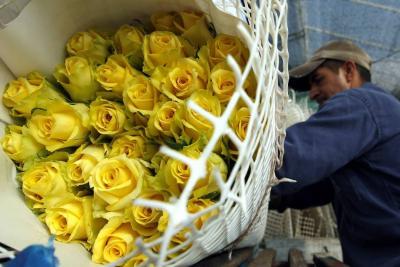 500 millones de flores exportaron floricultores para Día de San Valentín
