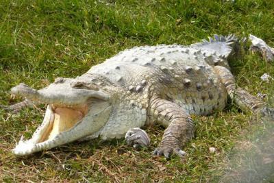 Buscan a niño que fue atacado y arrastrado por un caimán en Santa Marta