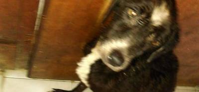 Falleció el perro atacado con aceite caliente en Girón