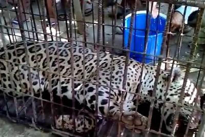 Jaguar cazado en Puerto Wilches.