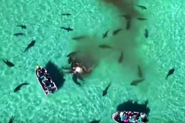 En video quedó registrado como 70 tiburones devoraron una ballena en Australia