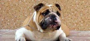 Suministradas Club Bulldog Bucaramanga