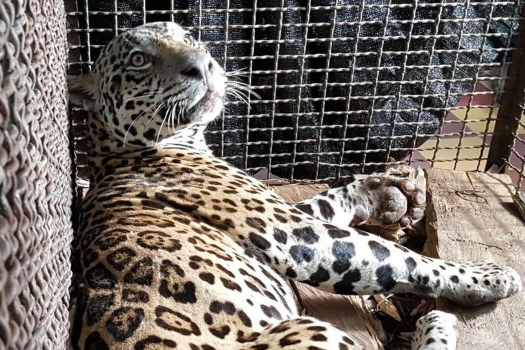 Veterinaria evaluará si jaguar capturado en Santander tiene fracturas