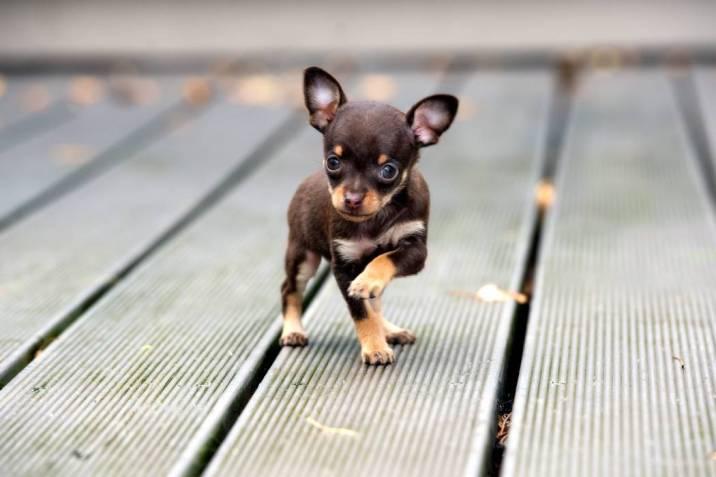 Chihuahua El Canino Más Pequeño Del Mundo Con Un Corazón