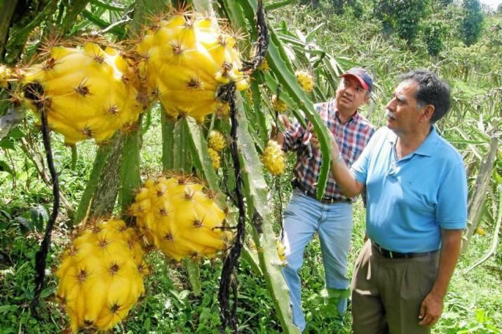 Resultado de imagen de pitahaya planta amarilla
