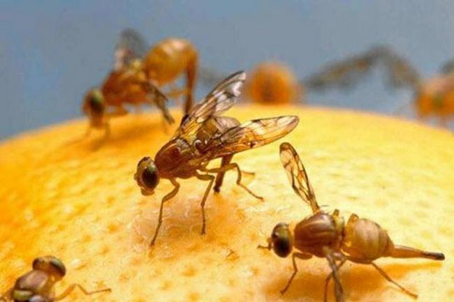 Estudio revela que las moscas también \'ahogan sus penas en alcohol ...