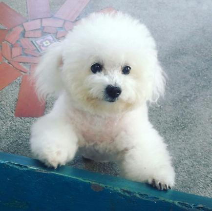 Poodle El Perro Más Popular Amoroso Y Elegante Que Acompaña Al