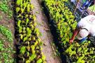 Construyen vivero de cacao en la vereda Quebradas
