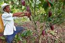 Productores de cacao, camino a la exportación