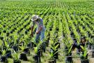 Producción de aceite de palma sería de más de 1.6 millones de toneladas