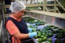 Santander tiene tierras aptas para sembrar aguacate hass