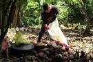Por lluvias, producción de cacao cae 14% en primer semestre