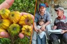 La uchuva, esperanza para santandereanos que huyeron de la crisis en Venezuela