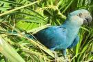 Guacamaya de Sprix, protagonista de la película 'Río', fue declarada extinta en su hábitat