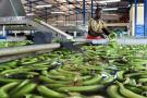 Caída de precios alerta a bananeros