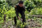 La inusual propuesta del Fiscal para frenar los cultivos ilícitos