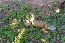 Denuncian posible envenenamiento de iguanas en Girón