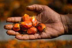 El mayor desarrollo agrícola de Santander está alrededor de la producción de aceite de palma.
