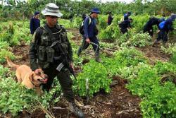 Colombia ha venido recurriendo a la sustitución voluntaria y la erradicación forzosa, pero los cultivos ilícitos siguen aumentado.