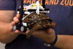 Construyeron una silla de ruedas con piezas de Lego para ayudar a una tortuga herida